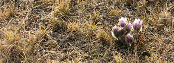 Prairie Crocus - photo by P. Tutty